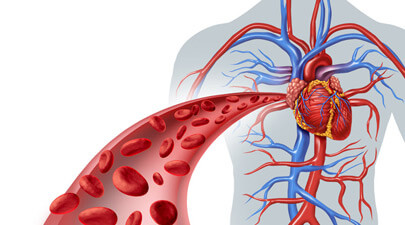 Circulatory System Functions