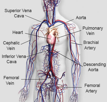 Detailed circulatory system diagram wiring diagram detailed circulatory system diagram images gallery ccuart Gallery
