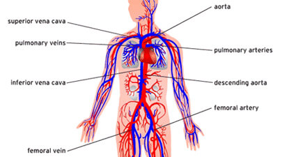 Circulatory System Parts